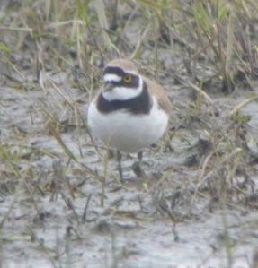 Little ringed Plover, Saul Warth, 28-03-14, MJMcGill