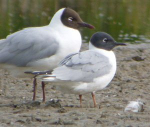 Bonaparte's Gull, Slimbridge, 002, 05-05-14, MJMcGill