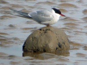 Arctic Tern, Severn, 19-05-14, MJMcGill