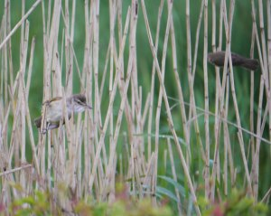 Great Reed Warbler with Reed Warbler, Top New Piece, 13-05-14, MJMcGill
