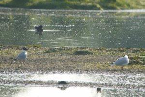 Bonaparte's Gull, Slimbridge, 003, 05-05-14, MJMcGill