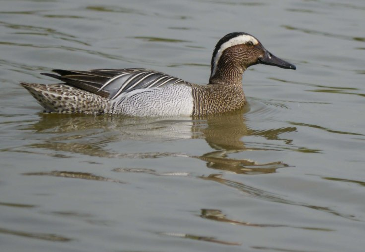 Garganey, South Lake, 04-05-14, MJMcGill