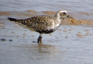 Grey Plover, Severn Estuary, 19-05-14, MJMcGill