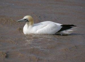 Gannet, Severn estuary,10-05-14,  MJMcGill