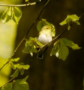 Wood Warbler, FoD, 03-05-14, MJMcGill
