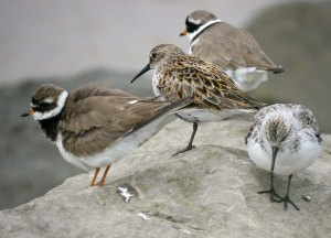 Dunlin, Ringed Plover and Sanderling on the Severn, MJMcGill 20-05-14