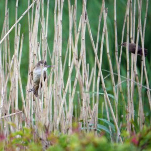 Great Reed Warbler and Reed Warbler, Top New Piece, 13-05-14, MJMcGill