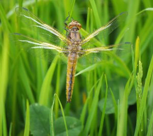 Scarce Chaser, teneral, Bull Ground, 20-05-14, MJMcGill