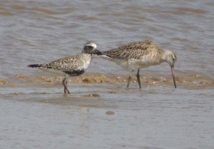 Grey Plover and Bar-tailed Godwit, Severn, MJMcGill, 19-05-14