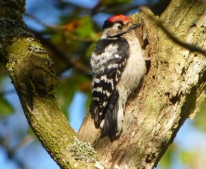 Lesser-spotted Woodpecker, Forest of Dean, 03-05-14, MJMcGill