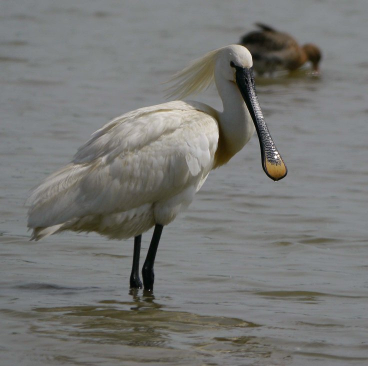 Eurasian Spoonbill, South Lake, 04-05-14, MJMcGill