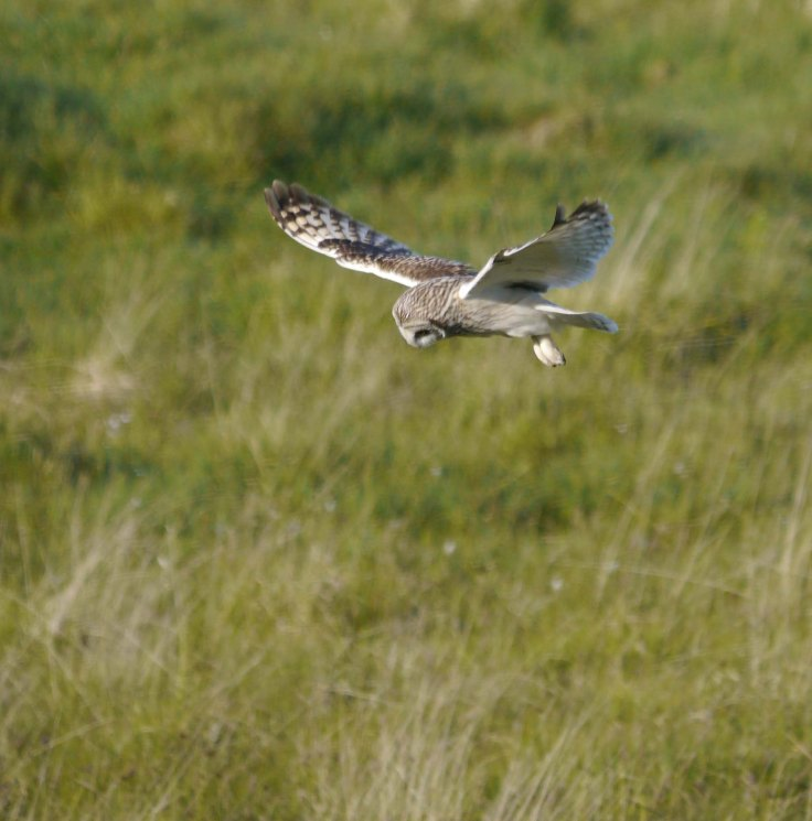 Short-eared Owl, Grenitone, N Uist, 28-05-14, MJMcGill, 001