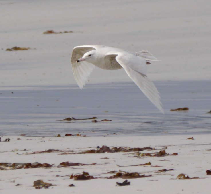 Glaucous Gull, first summer, Ard an Runair, N Uist, MJMcGill, 27-05-14, 001