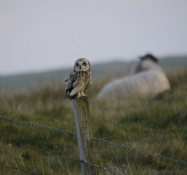 Short-eared Owl, Grenitone, N Uist, 28-05-14, MJMcGill