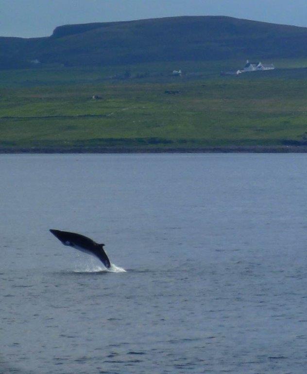 Minke Whale, Uig-Lochmaddy, Neil Smart
