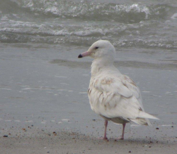 Glaucous Gull, first summer, Ard an Runair, N Uist, MJMcGill 27-05-14