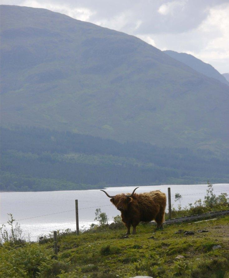 Highland Cow, Alt Mhuic, MJMcGill