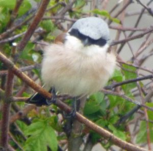 Red-backed Shrike, Filey NCCP, 24-05-14, MJMcGill, 001