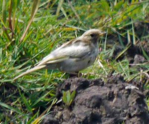 Albanistic Meadow Pipit, Dumbles, 22-07-14, MJMcGill (4)_edited-1