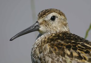 Dunlin, Severn Estuary, 14-07-14, MJMcGill (42)_edited-1