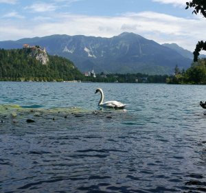 Mute Swan on Lake Bled, Bled Castle (4)_edited-1