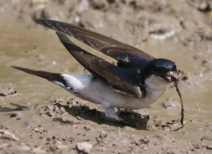House Martin with flat fly, MJMcGill