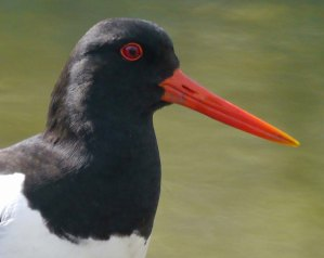 Oystercatcher head study, 05-06-14, MJMcGill