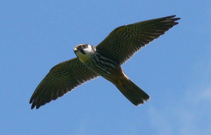 Hobby, in flight, 05-06-14, MJMcGill