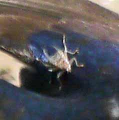 Flat fly parasite