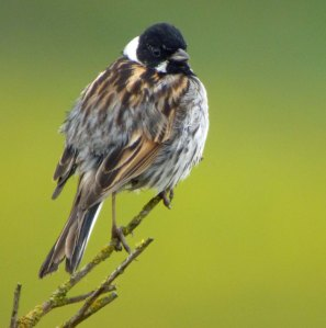 Reed Bunting, male, 02-06-14, MJMcGill