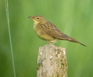 Grasshopper Warbler, Frampton on Severn, 14-06-14, MJMcGill