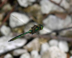 Brilliant Emerald Somatochlora metallica, Lake Bohinj, Slovenia, MJMcGill 06-08-14 (15)_edited-1