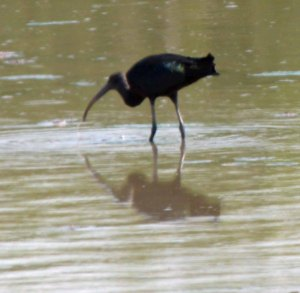 Glossy Ibis, Top New Piece, 12-06-14, MJMcGill (6) copy