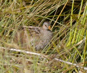 Spotted Crake, Top New Piece, 20-07-14, MJMcGill (1)_edited-1