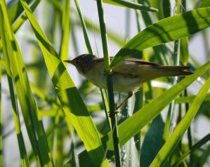 Reed Warbler, 15-07-14, MJMcGill_edited-1