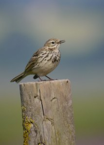 Meadow Pipit, Dumbles, 22-06-14, MJMcGill (1) copy