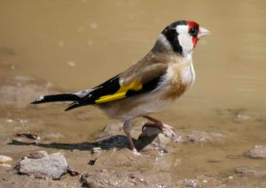 Goldfinch, drinking, MJMcGill (4) copy