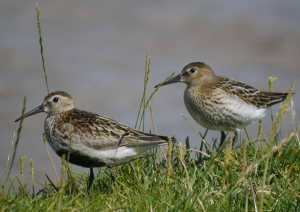 Dunlin, Severn Estuary, 14-07-14, MJMcGill (16)_edited-1