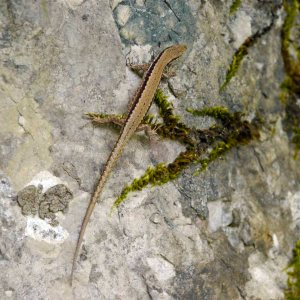 001, Lizard sp, near Kobarid, Slovenia (1)