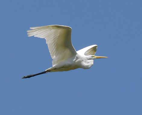 Great White Egret, Lake, Cerknica, Slovenia, MJMcGill (1)_edited-1