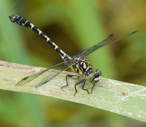 Green Pincertail, Slovenia, MJMcGill