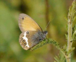 Breginski Stol butterfly