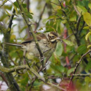 Reed Bunting, 28-08-14, MJMcGill copy