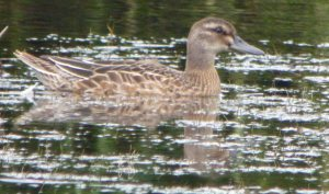 Garganey, 100 Acre, 16-08-14, MJMcGill (3)_edited-1