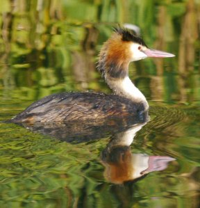 Great Crested Grebe, 03-08-14, 001, MJMcGill