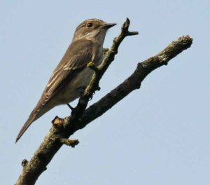 Spotted Flycatcher, Knott Hide (2)_edited-1