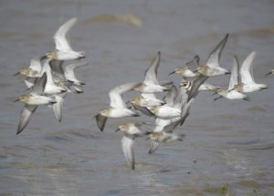 Waders in flight, Dunlin and single Curlew Sandpiper  (5)_edited-1