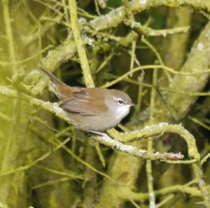 Cetti's Warbler, 28-08-14, MJMcGill (1) copy