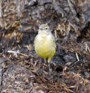 Yellow Wagtail, juvenile 1st winter, 29-08-14,  MJMcGill