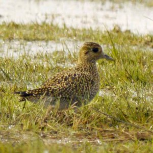 Golden Plover, Dumbles, MJMcGill (3)_edited-1